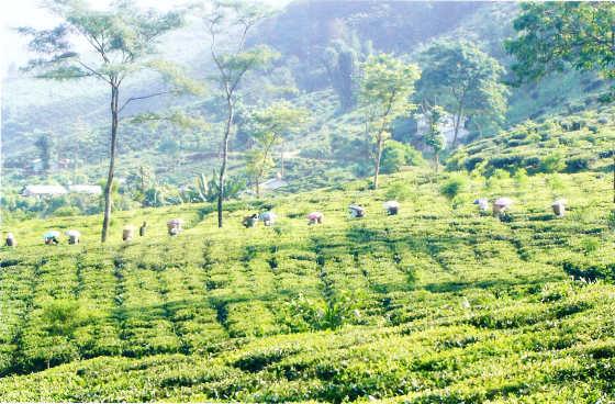 tea-gardenweb
