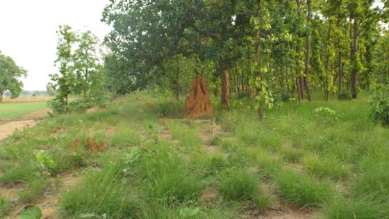 জঙ্গল সংলগ্ন বাবুই ঘাসের জমি। ছবি শমীক সরকারের তোলা।